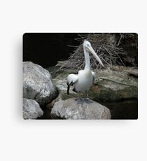 Pelican Pete Canvas Print