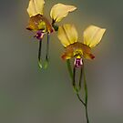 Donkey Orchid by JuliaKHarwood