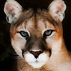 Mountain Lion by Jarede Schmetterer