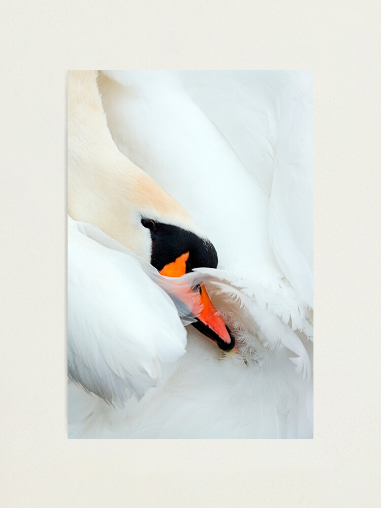 Alternate view of Preening Swan Photographic Print