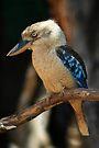 Blue Kookaburra by Stuart Robertson Reynolds