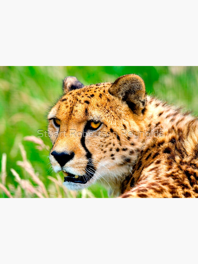 Cheetah by Sparky2000