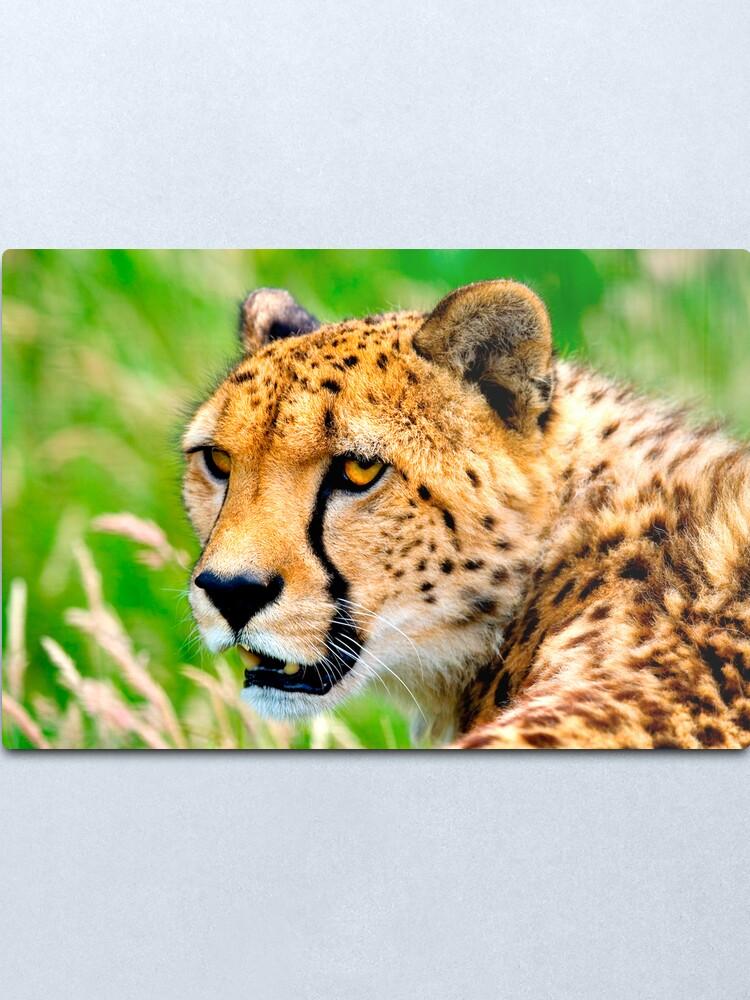 Alternate view of Cheetah Metal Print