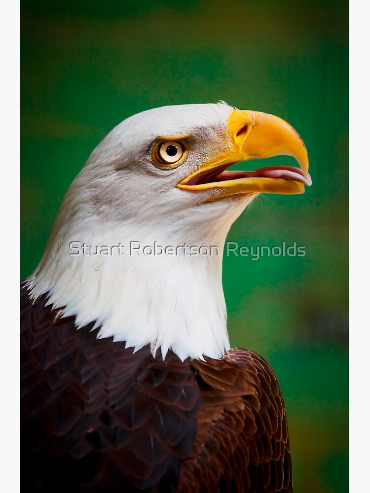 Bald Eagle by Sparky2000