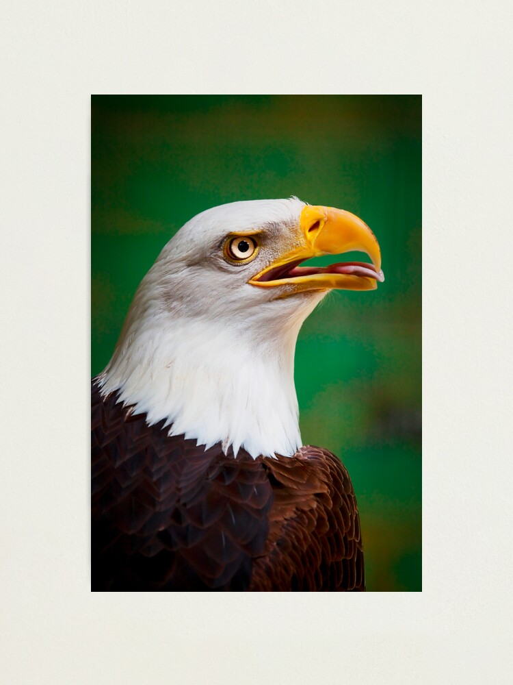 Alternate view of Bald Eagle Photographic Print