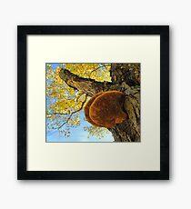 Shelf Mushroom. Fungus Framed Print