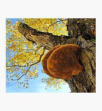 Shelf Mushroom. Fungus Photographic Print