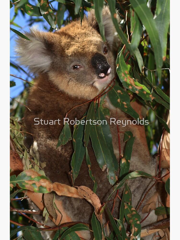 Koala by Sparky2000