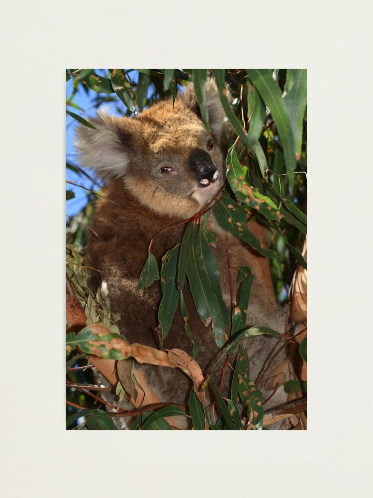 Alternate view of Koala Photographic Print