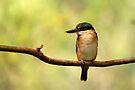 Sacred Kingfisher by Stuart Robertson Reynolds