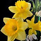Daffodils by Julie Sherlock