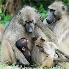FAMILY TIME - THE CHACHMA BABOON - Papio ursinus by Magriet Meintjes