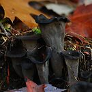 Autumn Black Trumpets in New Hampshire by RonSparks