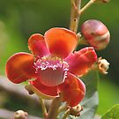 Cannonball Tree Flowers and Buds by Carole-Anne