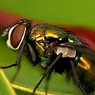 Fly macro by Richard Majlinder