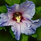 Blue Hibiscus (Flor de Jamaica) by David's Photoshop