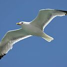 Seagull by kamtec1