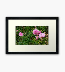 Light Pink Roses -Queen Mary's Garden Framed Print