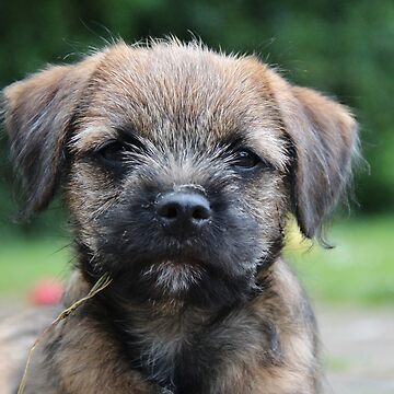 Border Terrier Puppy by MelTho