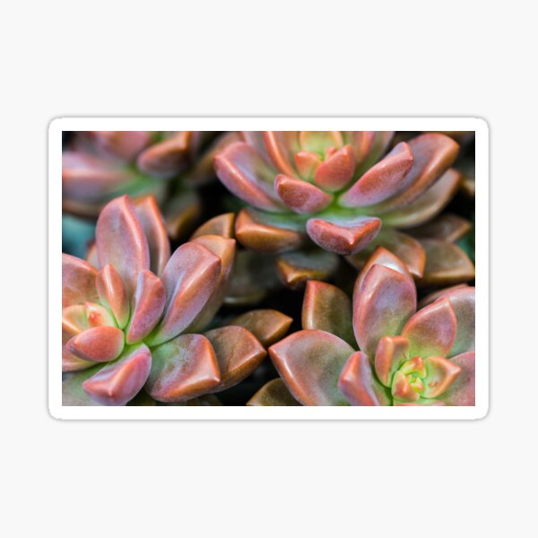 Succulents Red and Green Plant Sticker