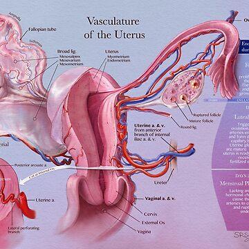 Vasculature of the Uterus by llamadala
