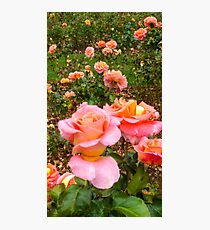 Pink Rose Field -Queen Mary's Rose Garden Photographic Print