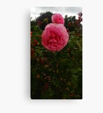 Round Pink Rose -Queen Mary's Rose Garden Canvas Print