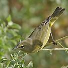 Another Orange-crowned? by tomryan