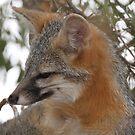 Grey Fox  by tomryan