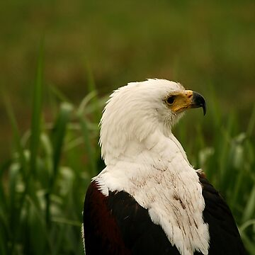 African Fish Eagle by amb1946