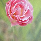 Miniature pink rose by Agnes McGuinness