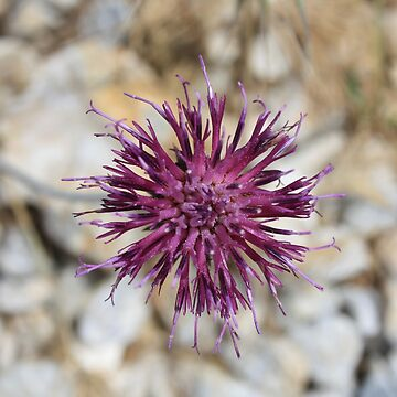 Purple Wild Flower Against Rock Photograph by taiche