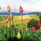 Tulips in bloom. Dandenong Ranges, Victoria, Australia by Bev Pascoe