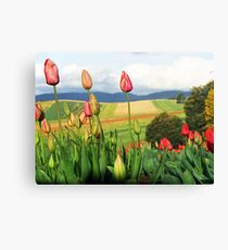 Tulips in bloom. Dandenong Ranges, Victoria, Australia Canvas Print