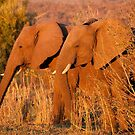 Elephants at the Letaba River, Kruger National Park, South Africa by Erik Schlogl