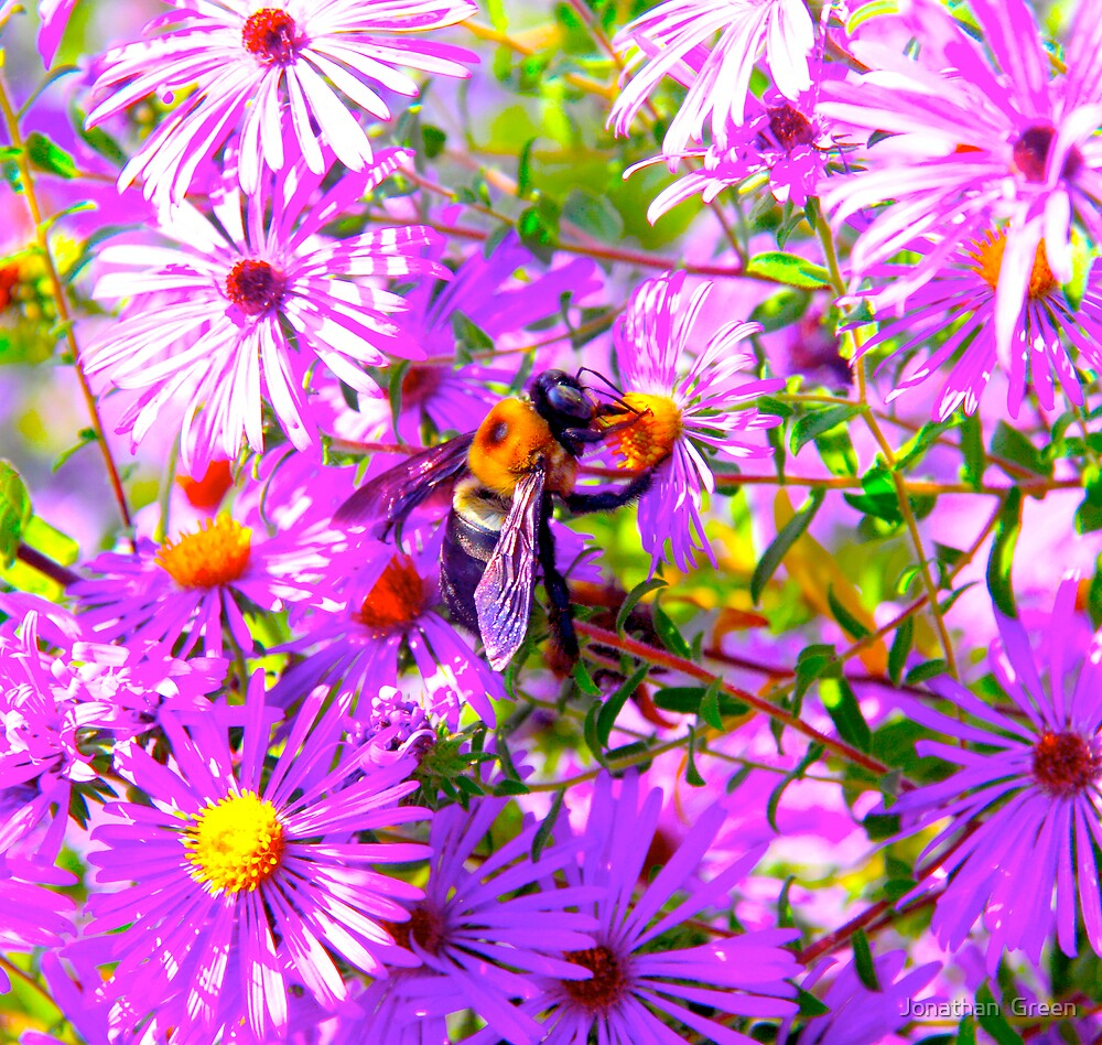 Bumble Bee Bopp Flower Colour by Jonathan  Green