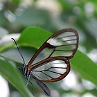Glass Wing Butterfly by Martha Medford