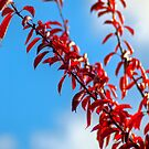 Red leaf blue sky by Steve plowman