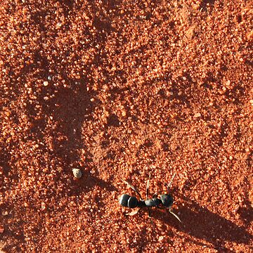 Ant on Simpson Sand by A1000WORDS