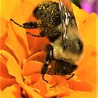 Bee on orange flower by Graphxpro
