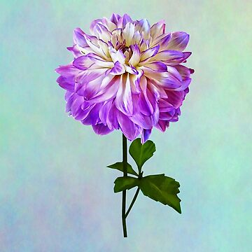 Pale Pink and White Dahlia by SudaP0408