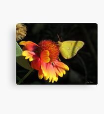 Clouded Yellow Butterfly Art Canvas Print