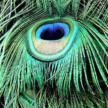 Peacock Plumage by chihuahuashower