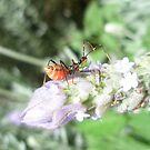 Assassin bugs  by lielas