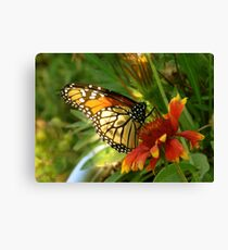 Female Monarch Butterfly feeding on Blanket Flower Art Canvas Print