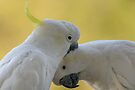 Two Cockatoos by Werner Padarin