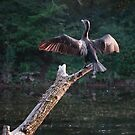 Cormorant Drying Off by David Lamb