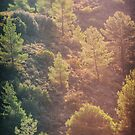 Pines in the mountains by Pascal Deckarm