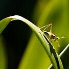 Grasshopper on a Green Leaf by darrenmars