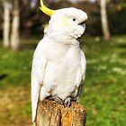 Cockatoo  by Cassie Robinson